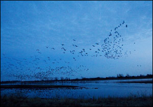 Thousands of Sandhill cranes rise at dawn.